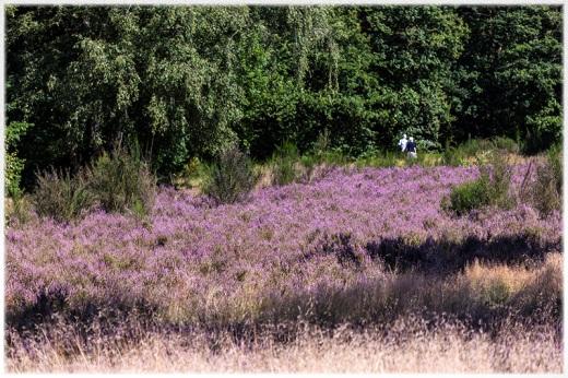 Heideblüte in Worpswede