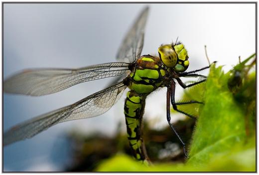 Libelle des Jahres 2012