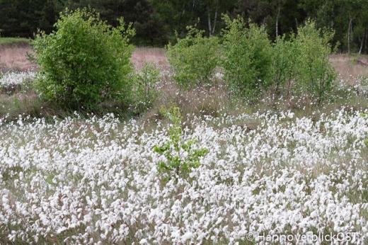 Weiße Fruchstände des Wollgras im Moor