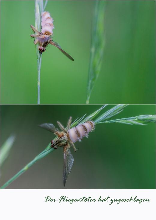 Fliegentöter