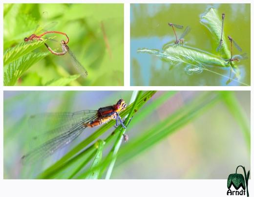 Libelle-ohne-Unterleib